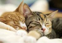 研究顯示:貓咪兩週發一次情,如此高頻卻少有貓奴知道真相!