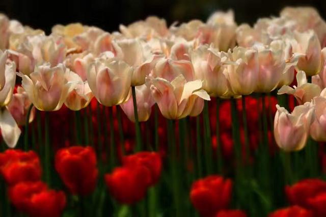 鬱金香的花語