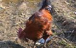 辨別土雞看雞腿,這裡有幾張圖,讓你看看農村的雞腿是啥樣