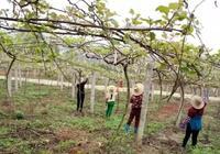 獼猴桃如何抹芽?獼猴桃春節管理重要內容!