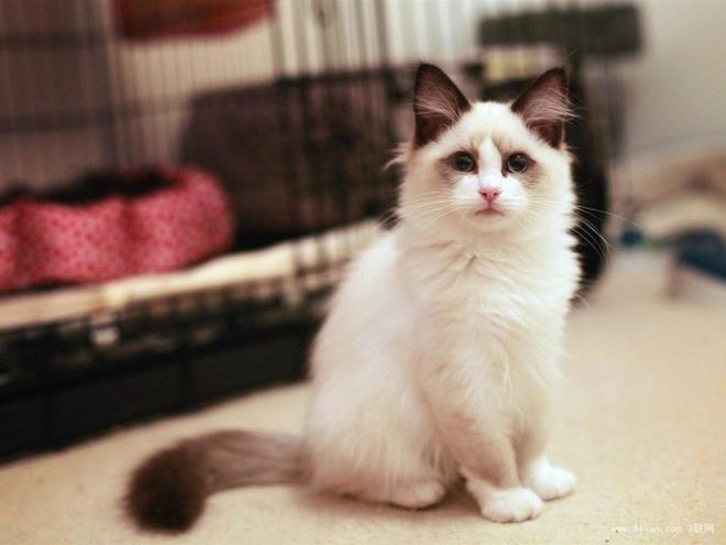 動物圖集:可愛乖巧的布偶貓
