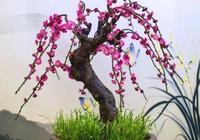 盆景的寵物-梅花盆景