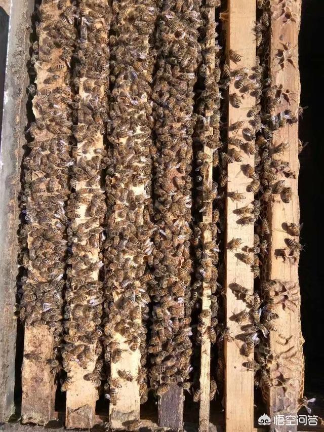 野外收回來的蜜蜂不上脾,這該怎麼辦?