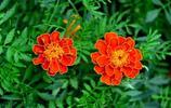 萬壽菊——燦爛盛開的孔雀草