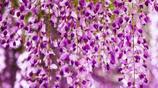 陽臺變花園的祕訣,就是這六種易活爬藤快的花卉,輕鬆成就花海