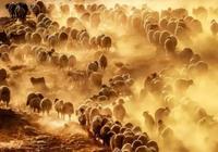 中國牧羊版圖:國家羊肉地理