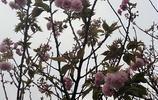 賞櫻花的好去處-贛縣櫻花公園