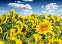 離昆明一小時車程,100萬株向日葵已花開成海!