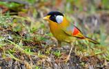 動物圖集:相思鳥