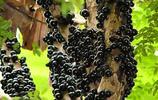 """本來以為是""""大黑螞蟻""""攻佔了整棵樹,沒想到""""黑螞蟻""""這麼好吃"""
