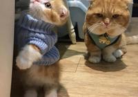 超萌的一家子,天天粘著貓爸貓媽的貓寶寶