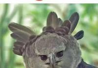 """被稱為""""空中美洲豹""""的猛禽-角雕"""