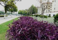 養花就選紫竹梅,比綠蘿還愛爆盆,掐個枝條,到處氾濫,好看好養