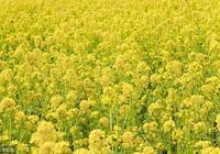 著名油菜專家李殿榮:吃油還是吃雙低菜籽油好!