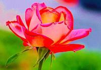 最香的月季品種~紅雙喜月季