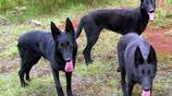 黑狼犬——中國優秀犬種,堅強的個性,綜合性運動型狼犬