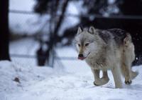 北美獸中之王也有敵手,灰熊和美洲獅殺死狼的幾例報道