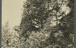 老照片西藏植物:雲杉、西藏圓柏、藏川楊