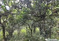 瀾滄、西盟、孟連古茶樹分佈丨茶區