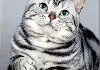 世界名貓——美國短毛貓(美短)