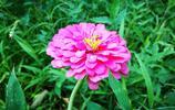 """鄉村農家小院兒裡的""""太陽花"""",中文名卻另有其名,您知道叫什麼"""