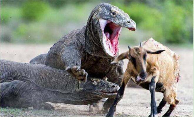 動物圖集:科莫多巨蜥不僅體型大,奔跑速度還極快