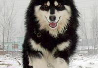 養阿拉斯加雪橇犬是種怎樣的體驗?