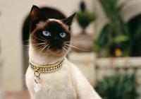 暹羅貓多少錢適合購入?