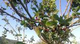 農村的一種野生小果子熟了,早上5點多鐘就得摘,小時候都吃過