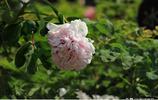 第三十七洛陽牡丹文化節已經拉開序幕,賞花前瞭解一下牡丹花名稱