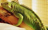 蜥蜴:自截再生