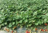 草莓怎樣才能持續結果?你的草莓為何會斷茬