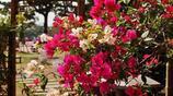 這7的爬藤植物一開花就成瀑布,很簡單就讓院落成為小花園