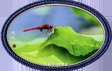 夏日的蜻蜓