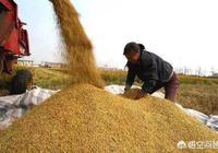 村裡有糧食販子故意給出個高價,卻不來收糧食了,為什麼?