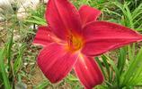 大花萱草——公園的花朵