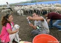 養羊失敗原因各種各樣,而養羊成功卻大致相同!