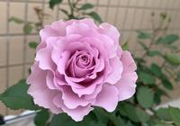 網友的月季花枝條瘦弱新葉發黃,易盲枝不開花,這3點沒注意