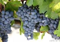 赤霞珠在紅葡萄品種中稱霸一方