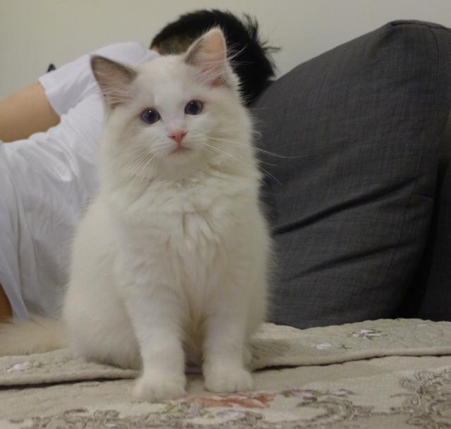 布偶貓為什麼很貴?