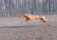 黑夜速度之王獵兔犬,惠比特犬,格力犬簡介