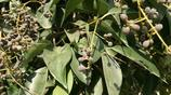 農村這種樹的果實熟了,認識的都知道是好東西,市場賣到2元一斤