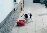主人懶得帶狗狗出門,解鎖遛狗新技能,聰明狗狗完美配合