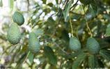 原來這些好吃的水果是這麼長出來的,你認識幾個?