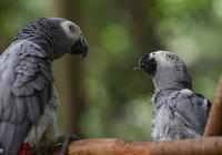 飼養非洲灰鸚鵡:幾個月帶回家最合適?看完這4點就瞭解為什麼了