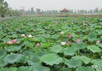 靳天龍:故鄉的荷塘