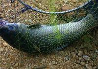 夏季青魚的釣法