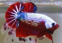 觀賞魚出現了身體潰爛不一定就是水黴病,它們的治療方法不一樣!