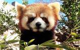 真被這種動物萌翻了!13張超可愛的小熊貓照片看著真的溫暖又治癒