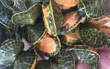 不用懷疑,你沒有眼花,這密密麻麻的小玩意不是西瓜!而是小烏龜!